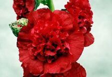 30+ SCARLET GIANT DANISH DOUBLE HOLLYHOCK  FLOWER SEEDS / PERENNIAL