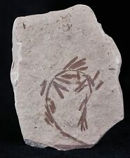 HIGHLY DETAILED FOSSIL PLANT LEAFS METASEQUOIA DAWN REDWOOD OLIGOCENE AGE