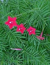 50+++ Cypress vine Star Glory Hummingbird flower RED* FAST FREE SHIPPING*