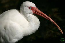 WONDERFUL WHITE IBIS CLOSE-UP FINE ART GREETING CARD