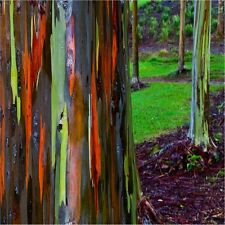 Rainbow Eucalyptus Gum Tree Seeds (Eucalyptus deglupta) 50+Seeds