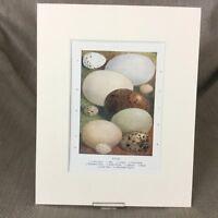 Antico Vittoriano Stampa Uccelli Uova Egg Raccolta Ca 1895