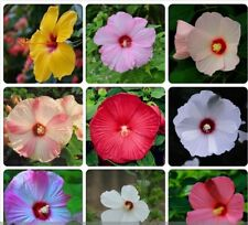 Hibiscus Moscheutos Mixed 9 Colors Mallow Rose Flower Seeds Eastern Rosemallow