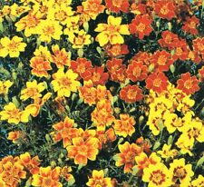 Flower - Kings Seeds - Pictorial Packet - Tagetes - Starfire