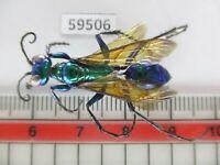 59506*****Hymenoptera, Ampulicidae?. Vietnam South*****
