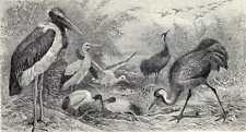 Antique print Wadvogels Wadvogel wadden wad vogel 1908
