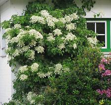 Kletterhortensie Hydrangea petiolaris 40-60cm Frühlingsblüher
