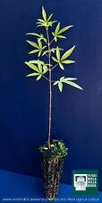 VITEX AGNUS CASTUS alveolo 1 Pianta plant Pepe dei monaci Agnocasto