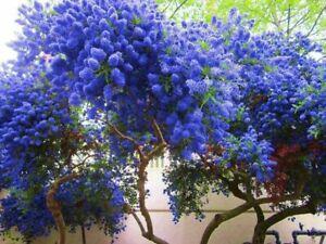 25 California Lilac Seeds Tree Fragrant Hardy Perennial Flower 433 US SELLER