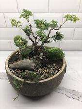 Hinoki False Cypress Bonsai