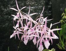 Encyclia nemorale species orchid
