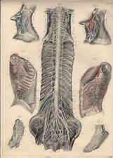 Stampa antica ANATOMIA GOLA POLMONI SPINA DORSALE medicina 1844 Antique print