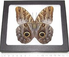 REAL PERUVIAN OWL EYE CALIGO FRAMED BUTTERFLY INSECT