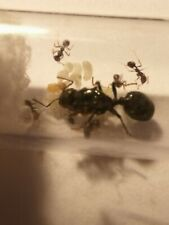 Messor Barbarus Queen with eggs and 5-10 workers