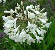 Agapanthus praecox, African White Lily or White Lily of the Nile 30-50g plant