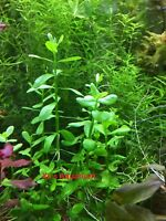Moneywort, Bacopa monnieri, Live Aquarium/Aquatic Plant, Planted Tank