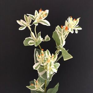 Euphorbia spray stem H67cm faux/silk green variegated