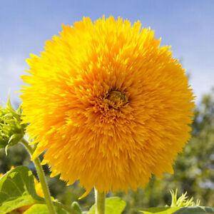 30 Dwarf Teddy Bear Sunflower Seeds to Grow & Plant Yellow Flowers Pots & Garden