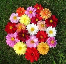 Dahlia pinnata mix Flower Seeds from Ukraine