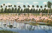 Linen FL Postcard L407 Flock of Flamingos Nests Hialeah Park Miami Curt Teich