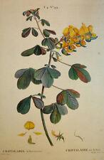 1804-25 Redouté Crotalaria arborescens rattlepod Fabaceae Duhamel
