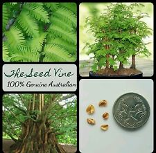 30+ DAWN REDWOOD TREE SEEDS (Metasequoia glyptostroboides) Evergreen Bonsai