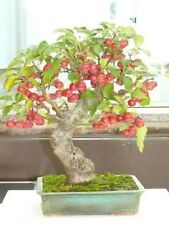 Malus Sylvestris - Bonsai 30 SEEDS - SOW ALL YEAR