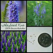 50+ SPIKED SPEEDWELL SEEDS (Veronica spicata) Blue Purple Flowers Royal Candles