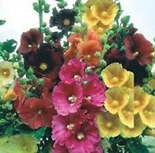 50+ Alcea Hollyhock Flower Seed Mix / Perennial