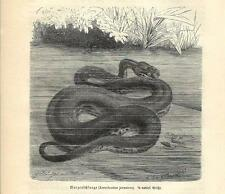 Stampa antica SERPENTI ACROCORDO DI GIAVA Acrochordus 1891 Old antique print