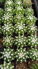 echinopsis subdenudata, hybrid, seedlings, open pollinated