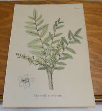 1834 Medicinal Plant COLOR Print///INDIAN FRANKINCENSE , or BOSWELLIA SERRATA