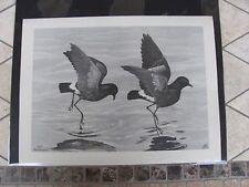 Original  Rex Brasher #109  Hand Painted   Print  Wilson Petrel  #109REX2 DSS