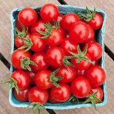 Wilder Peruanisch Tomate - 10+ Samen - Saatgut - SELTENE RARITäT!