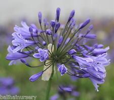 New Agapanthus Martine dark violet blue flowers excellent garden plant