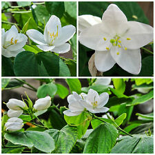 50 Samen der Bauhinia acuminata , Phanera acuminata, Baum Orchidee,G