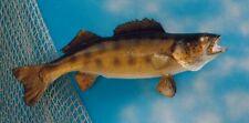 "Taxidermy  Walleye 23"" Fish Mount - Wall mount Decor -Fish Replica"