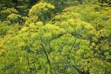Graines d'aneth, les herbes, et des épices, produits de mon jardin, aneth bio,