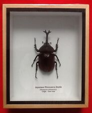 REAL RARE JAPANESE RHINOCEROS BEETLE KABUTOMUSHI HORN HORNED TAXIDERMY INSECT