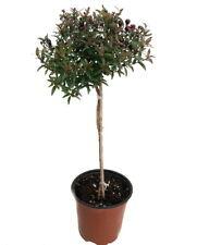 "Biblical Myrtle Herb Plant - Myrtus - Ancient Herb - 4.5"" Pot - Topiary"