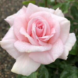 Whiter Shade of Pale    Hybrid Tea Rose  7ltr Potted Rose Plant   Pale Blushpink