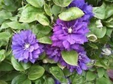 Clematis Bush Purple Vine Seeds