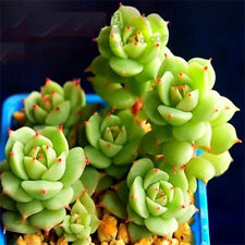 FD2225 Succulents Seeds Mini Potted Flower Organic Roses Seeds ~1 Bag 50 Seeds~