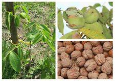 Echte Walnuss Juglans regia Pflanze 15-20cm Walnussbaum Welschnuss Baumnuss