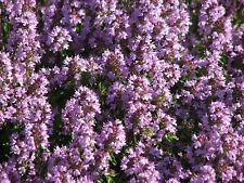 ca. 500 Samen Thymus pulegioides - Arznei - Thymian