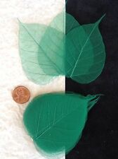 25 Green Kelly Emerald leaves Po Bo Banyan Skeleton leaf see through Veins Small