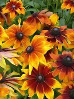 Rudbeckia Seeds Autumn Colors 50 Rudbeckia Hirta Seeds Perennial