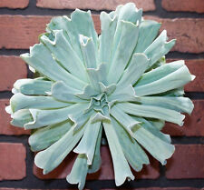ECHEVERIA RUNYONII Topsy-Turvy rare succulent hen and chicks plant seed 15 SEEDS