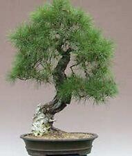 10 RED JAPANESE PINE TREE Korean Pinus Densiflora Evergreen Seeds *CombSH & Gift