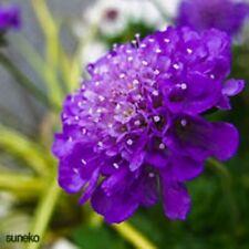 25+ DARK PURPLE SCABIOSA PINCUSHION FLOWER SEEDS / PERENNIAL